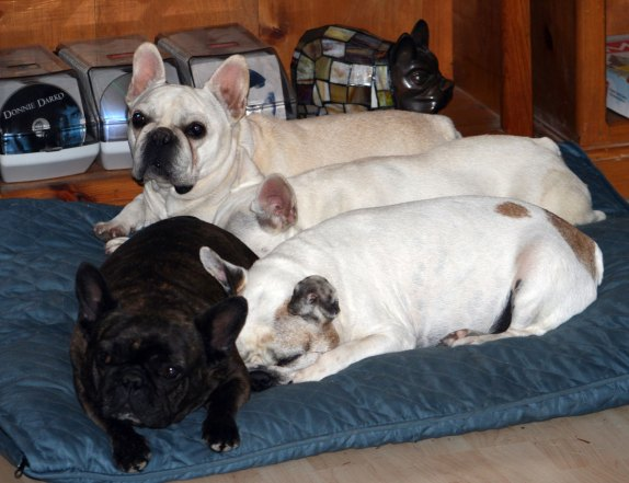 Brindle, Cream, Pale Cream, Fawn Pied - Four French Bulldogs, Four different colors