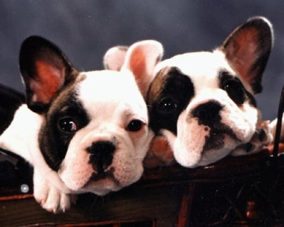 Gunny and Rider, French Bulldog puppies