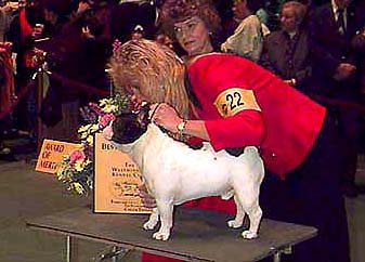 Stacking Bullmarket Versace after his Westminster Best of Breed win