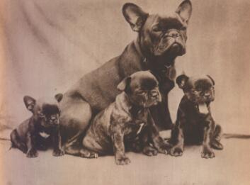 French Bulldogs have been bred for flatter faces