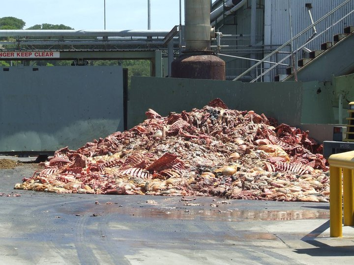 dead animal carcasses at rendering plant