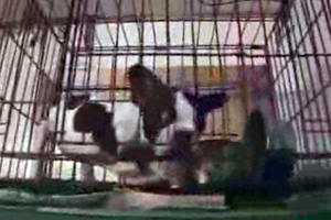 puppy mill french bulldog in cage
