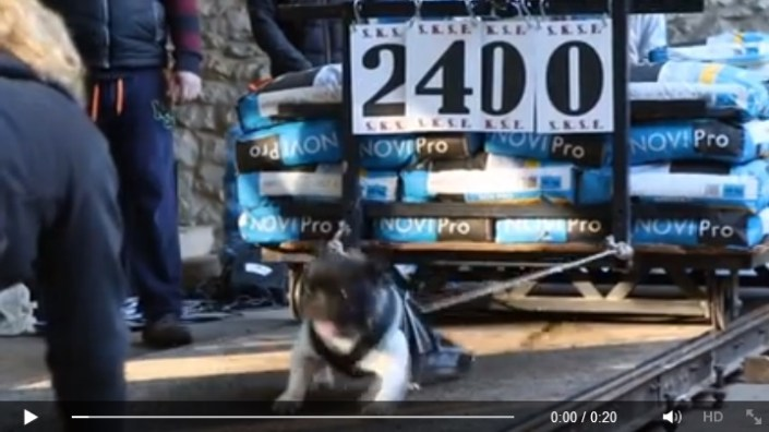 weight-pull french bulldog video