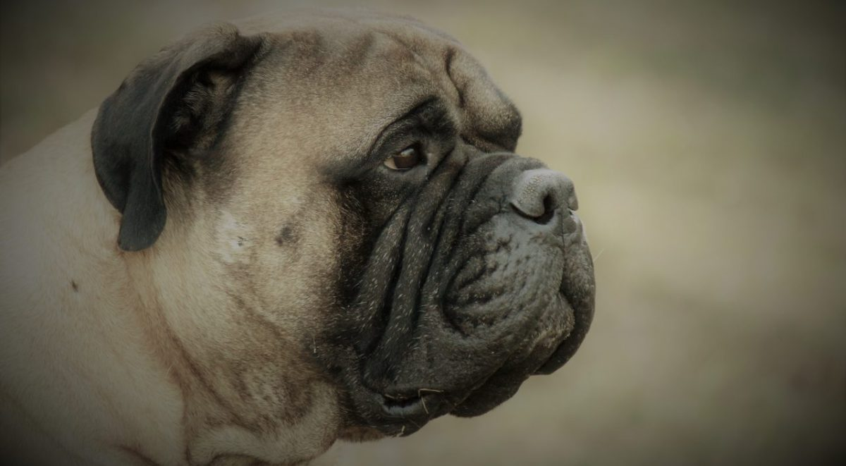 The American Bullmastiff Association | The Official AKC