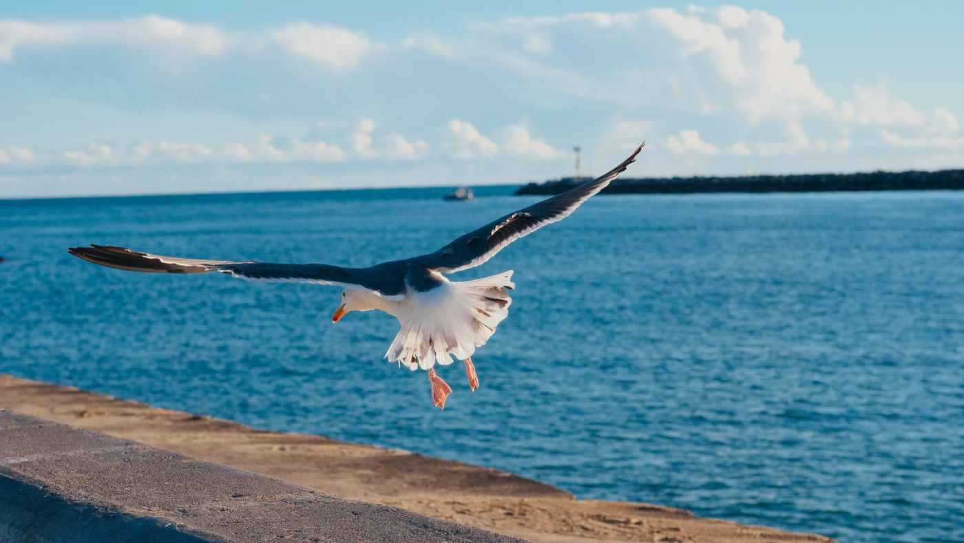 flying seagull about to land