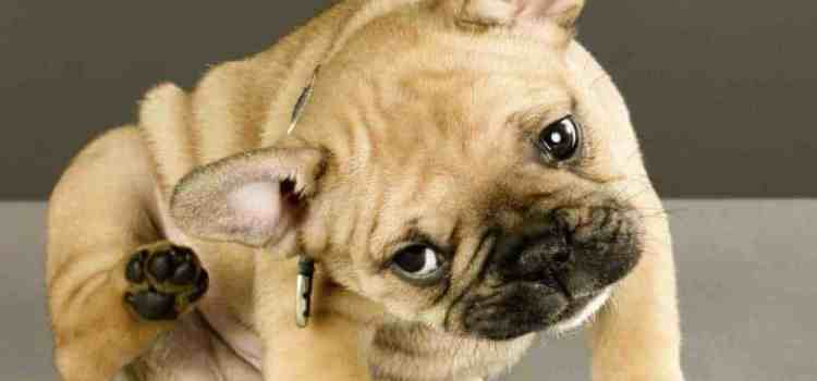 how to treat demodex mange at home