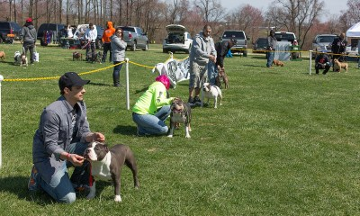 bully breed dog show