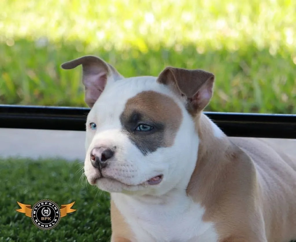 Caring For Your American Bully