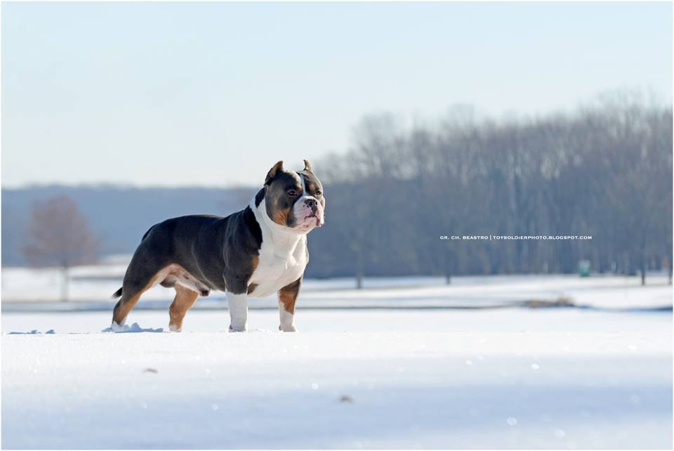 History of the Tri-Colored Pit bull & American Bully