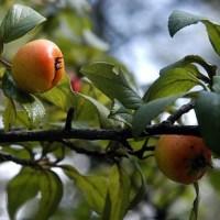 Внимавайте: Мансанильо - най-отровното дърво в света прилича на ябълка