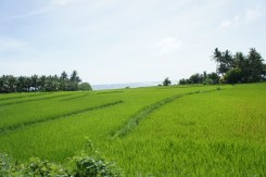 Rice field and the sea beyond