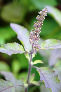 Kologon-kogon is a native purple basil with strong aromatic fragrance.