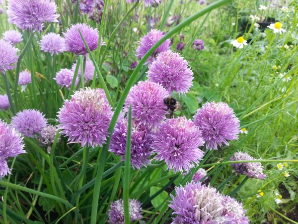 Wildlife friendly planting at the Secret Herb Garden, Edinburgh