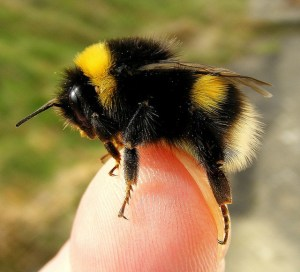 Bumblebees are good to have around.
