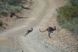Kängurus können sich nicht drehen - darum springen sie manchmal direkt vor dem Auto auf die Straße
