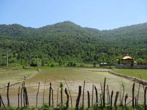 Reisfelder am Wegesrand