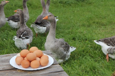 Gooses and eggs
