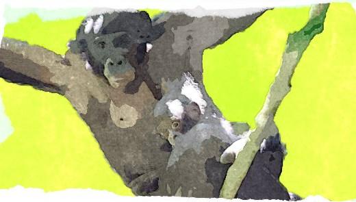 ボノボとチンパンジーの違いと生態は?知能が人間に近いってマジ?