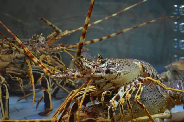 Pet lobster care tips