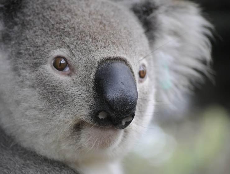 adorable koalas