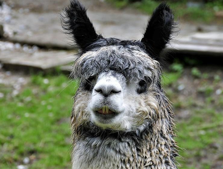 pet llama