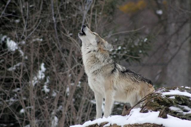 live wolf