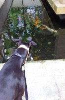 Lucy is wary of the koi