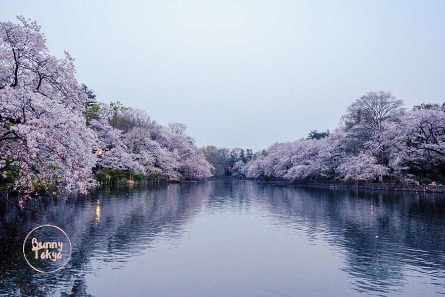 Tokyo Hanami 2019 - Inokashira Park