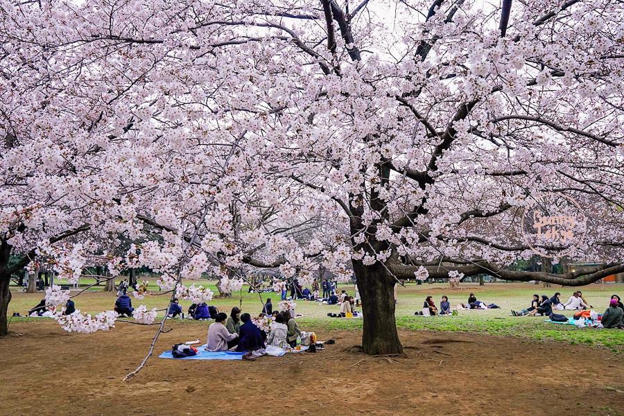 Tokyo Hanami 2019: Kinuta ParkTokyo Hanami 2019: Kinuta Park