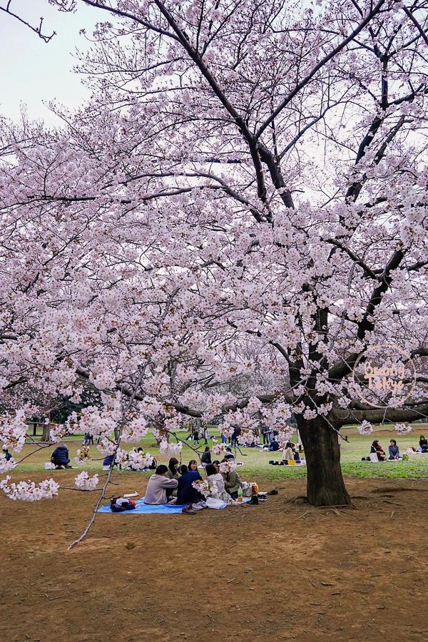 https://bunnytokyo.com/2019/03/28/tokyo-hanami-2019-shinjuku-gyoen/
