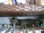 本棚で寝る猫