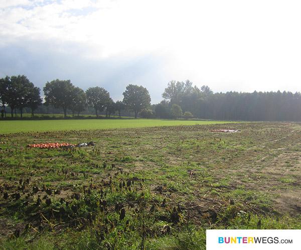 Kurz vor dem Ziel: Kürbis-Felder