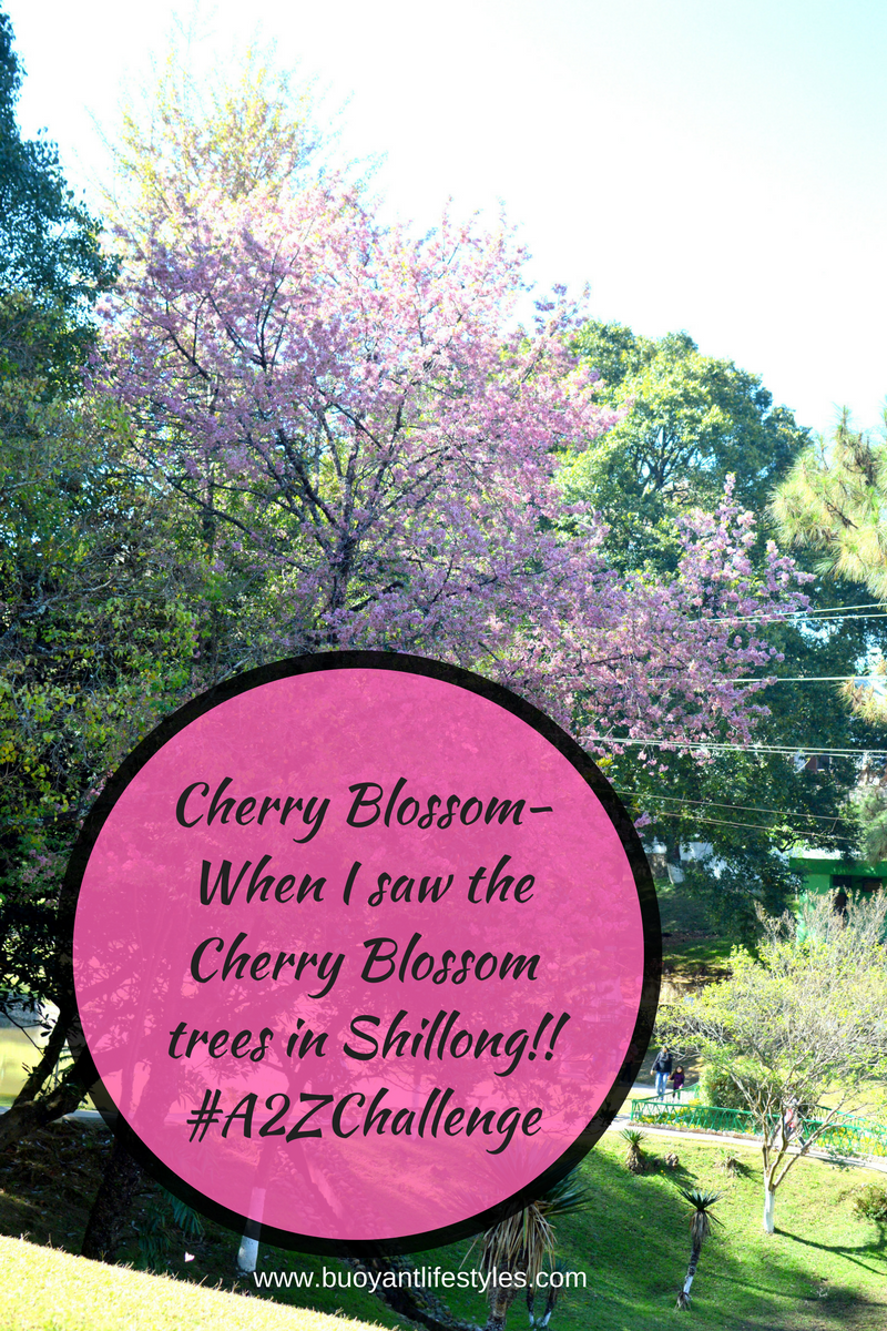 Cherry Blossom-When I saw the Cherry Blossom trees in Shillong!! #A2ZChallenge