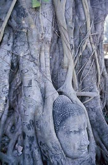 Buddha_head_enveloped_by_tree_3jpg_1