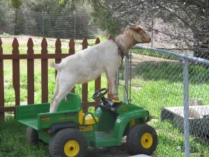 John_goat