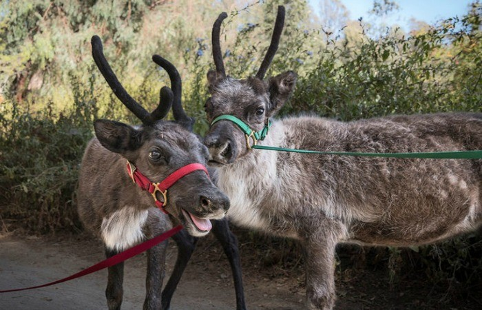 Head To The Los Angeles Zoo For A Reindeer Romp!
