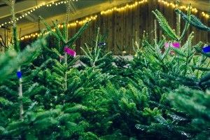 Our beautiful Christmas tree barn