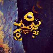 Frodo the Dart Frog