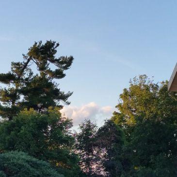 Trees, #1- Eastern White Pine