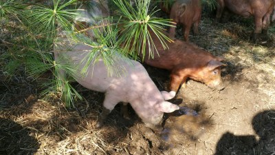 pigs at wallow