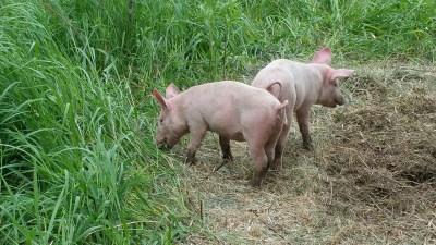 sunburned piglets
