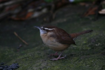 Carolina Wren choosing sunflower seeds at Lasalle Park in Burlington, ON