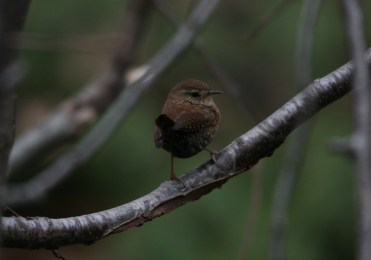 Winter Wren on branch at Lasalle Park in Burlington, ON