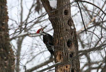 Pileated woodpecker at the Morgan Arboretum in Montreal, Quebec