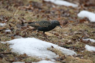 European Starling at Humber Bay Park East in Toronto, ON