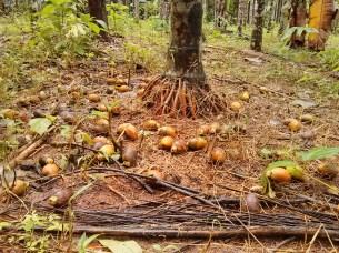 ရောဂါကြောင့် ကြွေကျနေသည့် ဖာလိန်ဒေသမှ ကွမ်းသီး(AK)