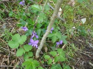 violets3
