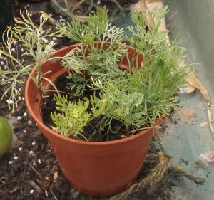southernwood cuttings