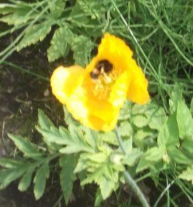 poppybee