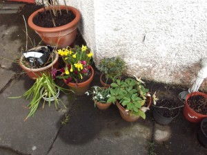daffodils and cyclamen in pots